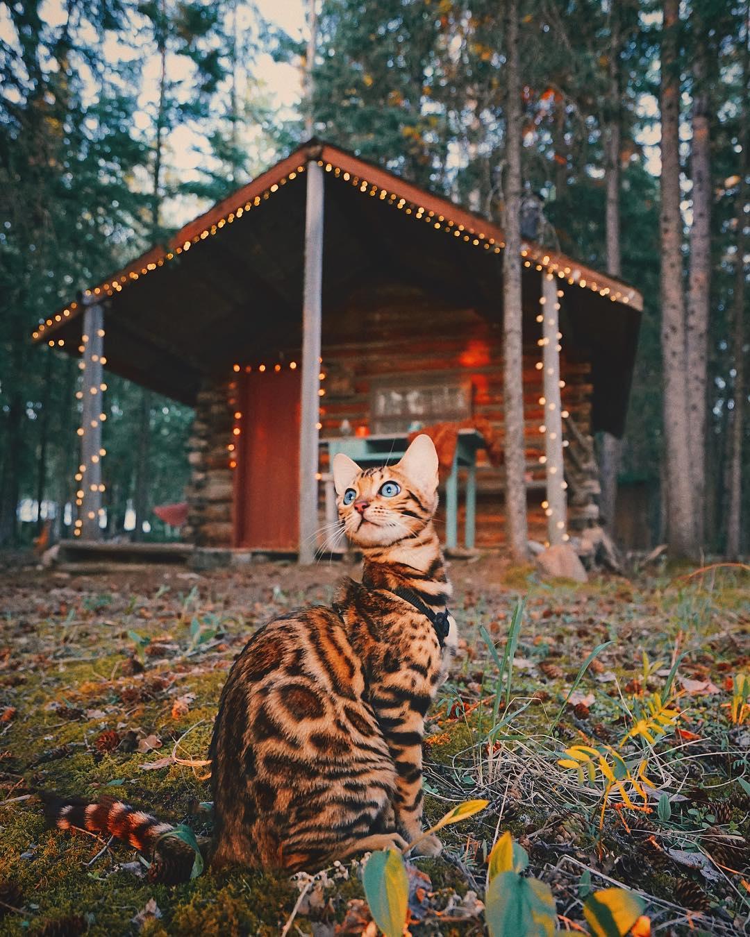 عکس های گربه بنگال ماجراجو در سفر به کانادا